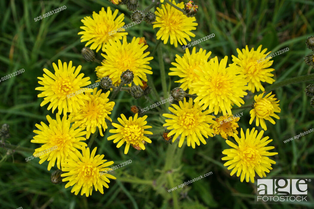 Stock Photo: Hawkweed Hieracium sp Sark British Channel Islands, UK.