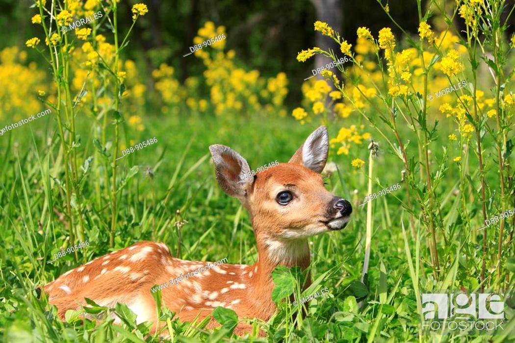 Stock Photo: White-tailed Deer (Odocoileus virginianus). Minnesota, USA.