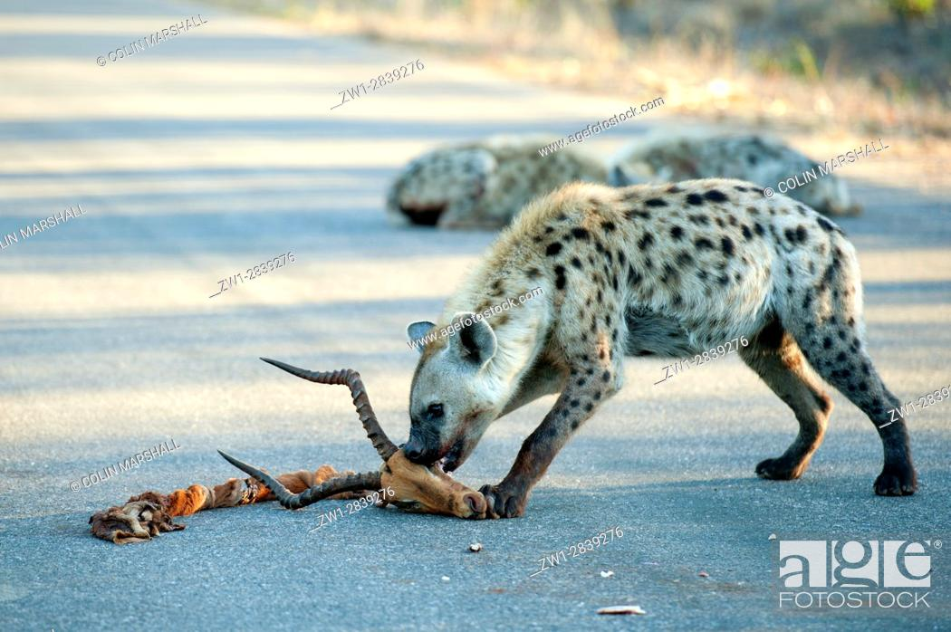 Stock Photo: Spotted Hyena (Crocuta crocuta) aka Laughing Hyena on road with skull of antelope, Kruger National Park, Transvaal, South Africa.