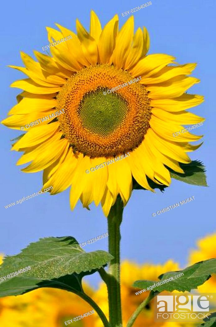 Stock Photo: Closeup sunflower.