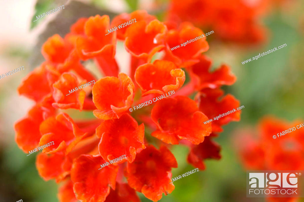 Stock Photo: red lantana.