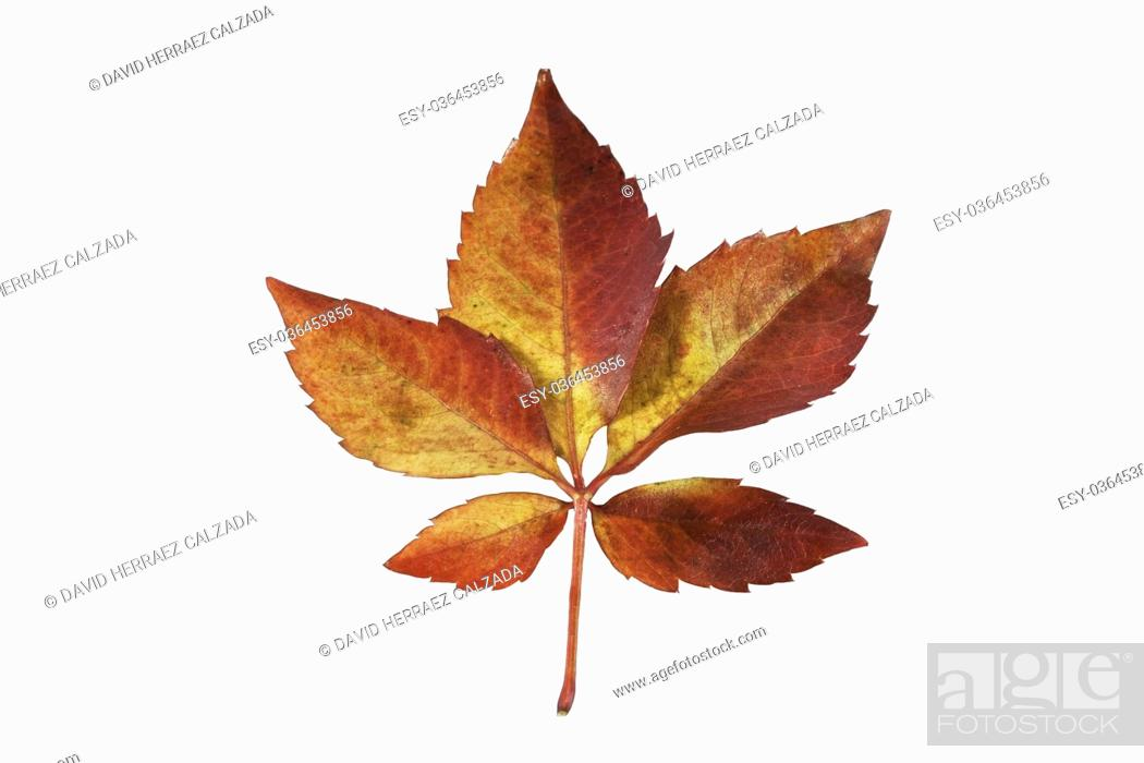 Stock Photo: Red maple tree leaf on white isolated background.