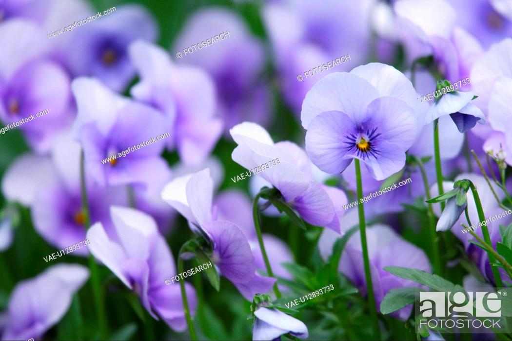 Stock Photo: Pansy.