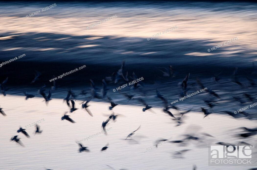 Stock Photo: Black-headed Gull (Chroicocephalus ridibundus), flight, France.