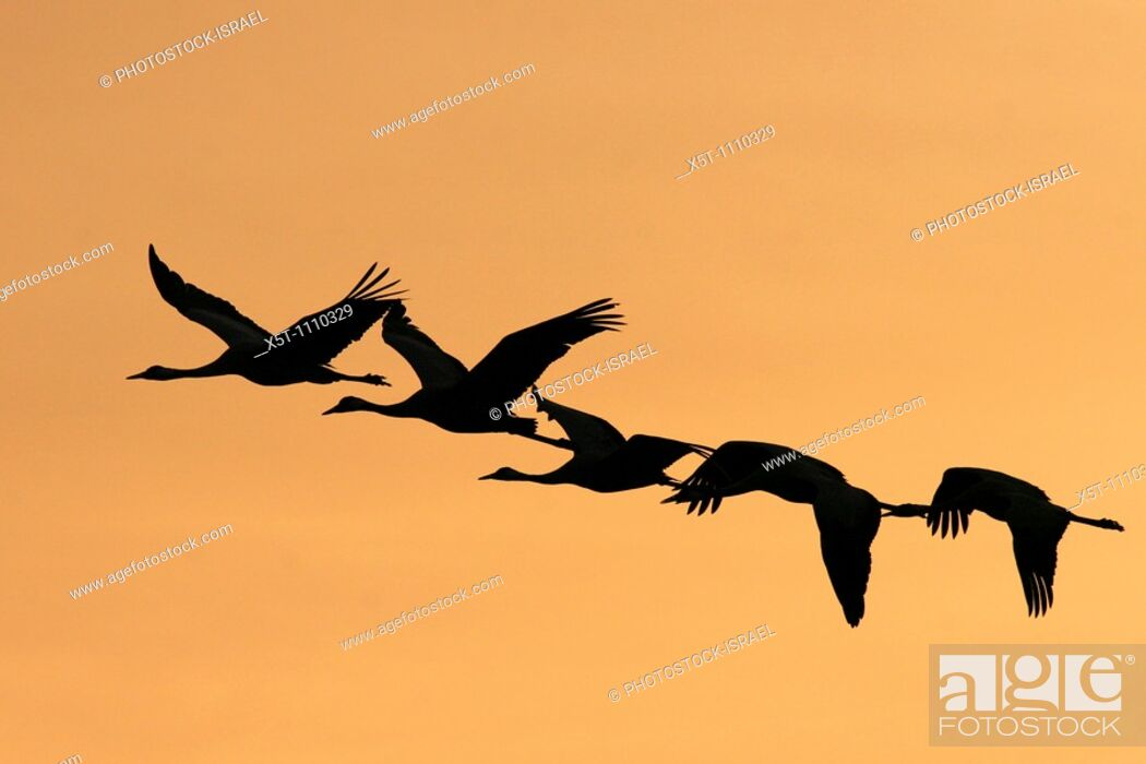 Stock Photo: Israel, Hula Valley, silhouette of five Grey Cranes Grus grus flying at sunset winter February 2008.