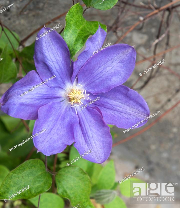 Stock Photo: Clematis HF Young.