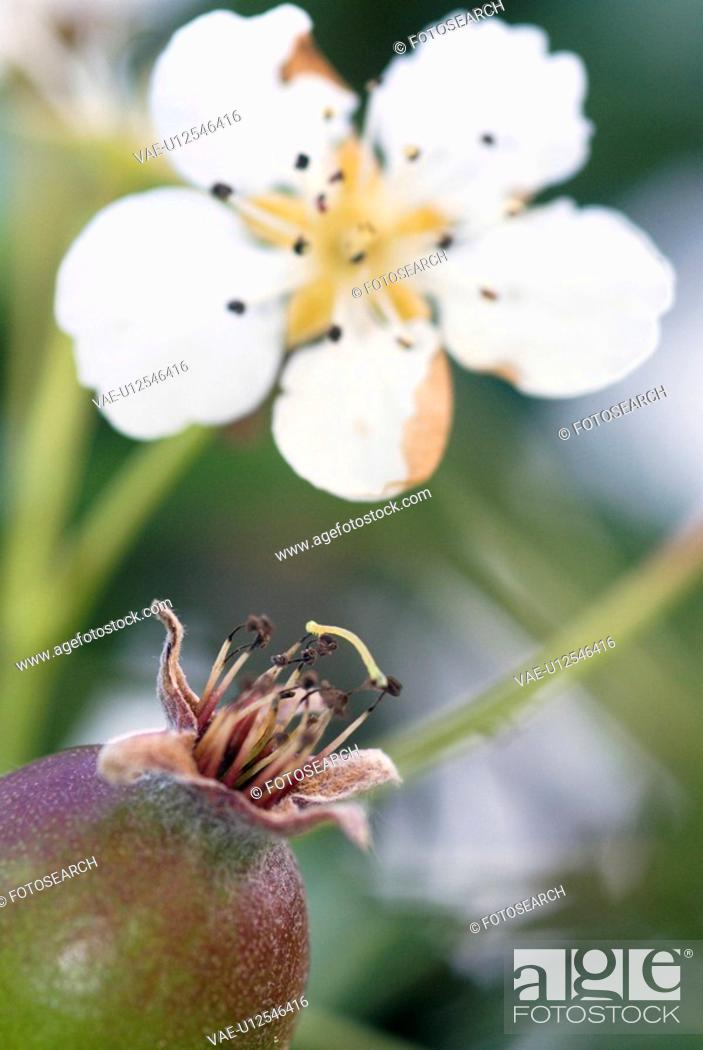 Stock Photo: blossom, outdoors, pear tree, bloom, spring, garden.