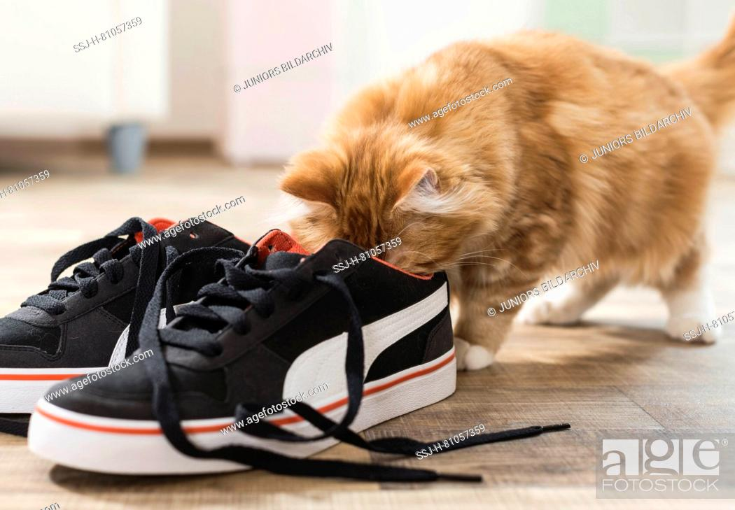 Stock Photo: American Longhair, Maine Coon. Kitten looking into a sneaker. Germany .