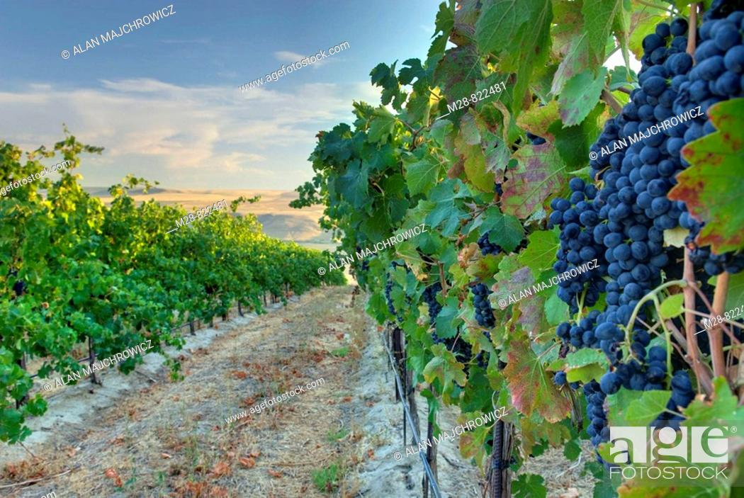 Stock Photo: View of vineyards on Goose Ridge a premium wine growing area of the famed Columbia Valley Washington USA.