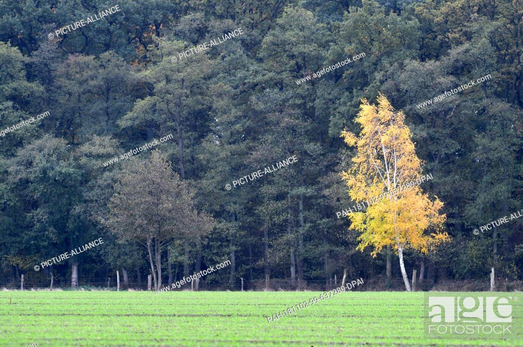 Stock Photo: 02 November 2018, Lower Saxony, Wedemark: A birch with yellow autumn leaves stands in front of a mixed forest in the Feldmark.