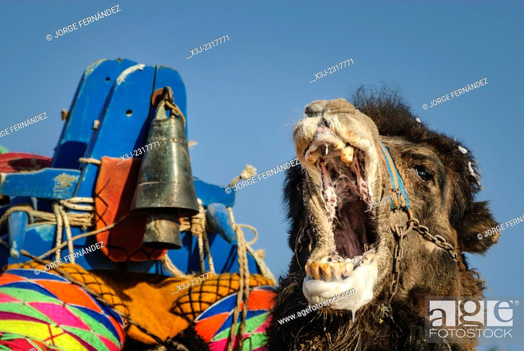 Stock Photo: Camel wrestling league, Ayvalik, Aegean region, Turkey.