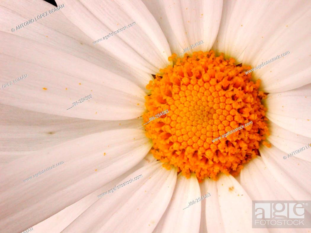 Stock Photo: Detail of Daisy.