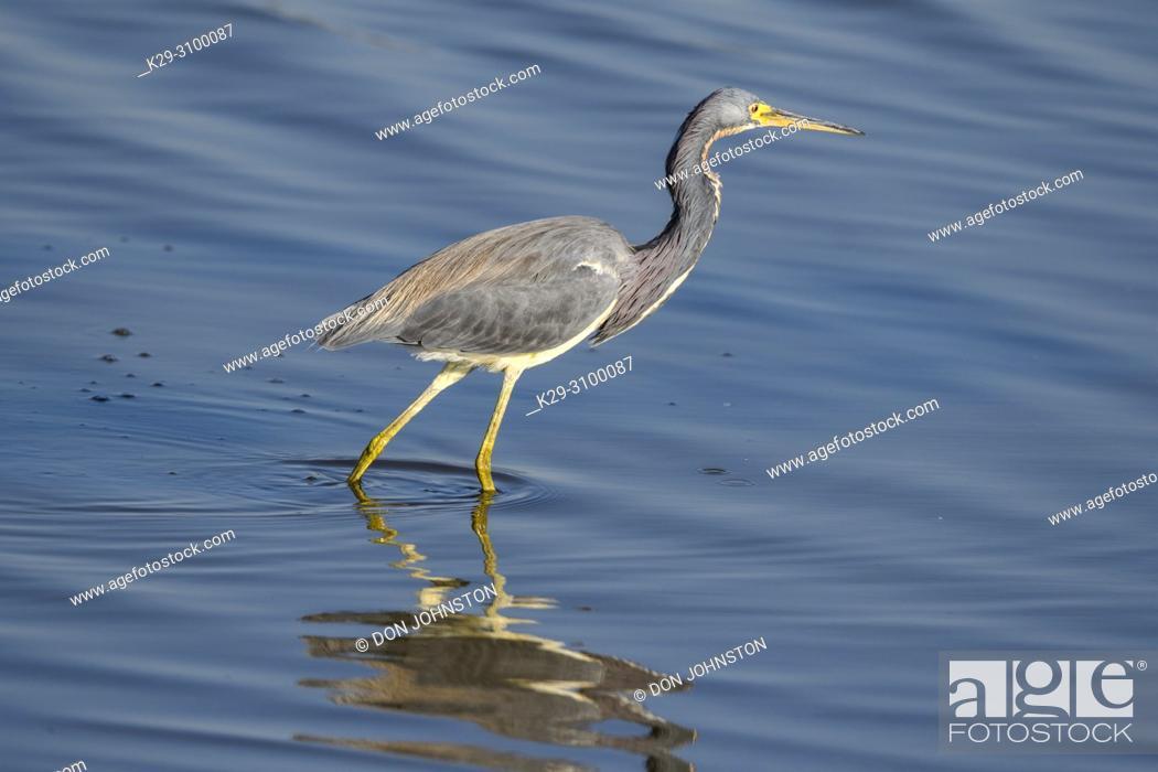 Stock Photo: Tricoloured heron (Egretta tricolour), St. Marks NWR, Florida, USA.