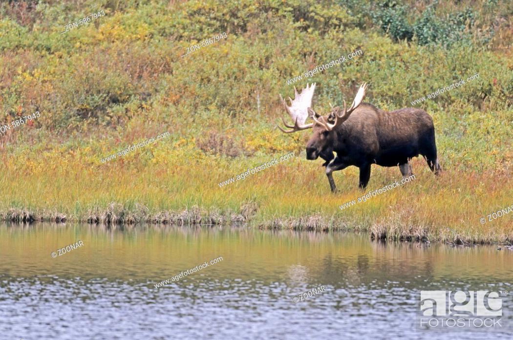 Stock Photo: Elchschaufler steht an einem Teich in der Tundra - (Alaska-Elch) / Bull Moose standing next to a pond in the tundra - (Alaska Moose) / Alces alces - Alces alces.