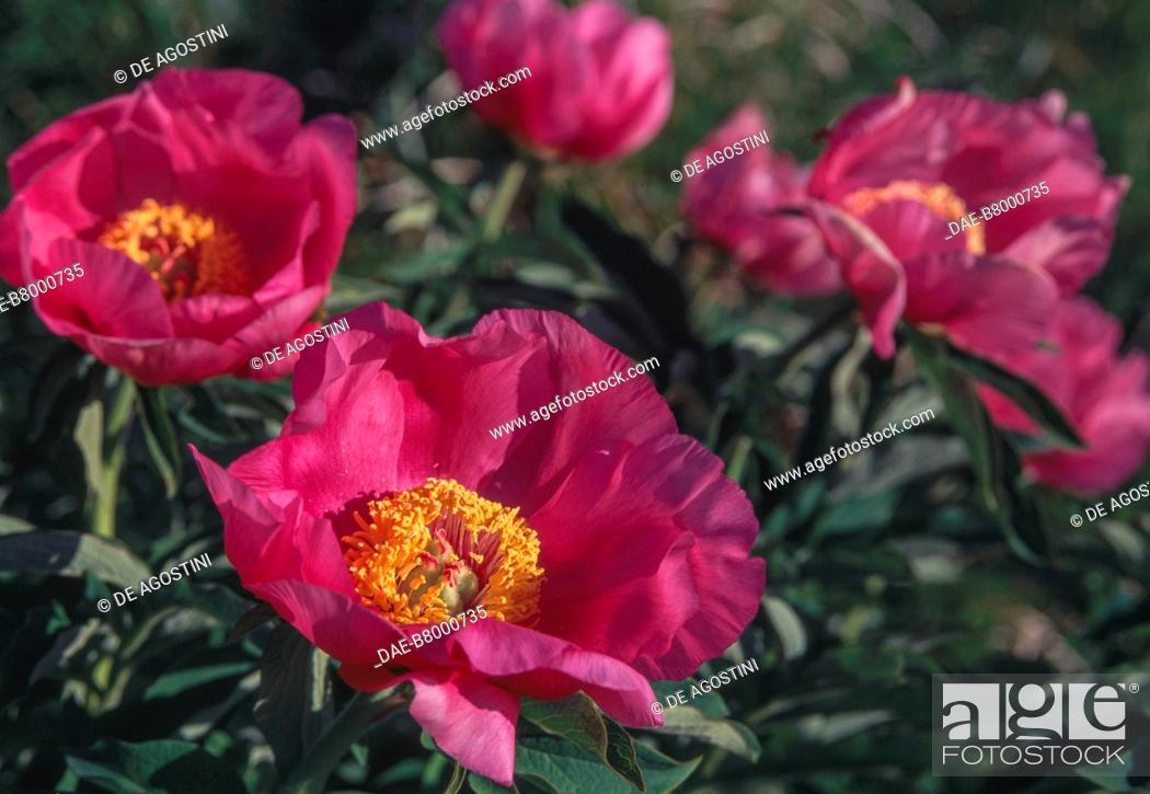 Imagen: Common peony (Paeonia officinalis) flowers, Paeoniaceae, Anzasca Valley, Piedmont, Italy.