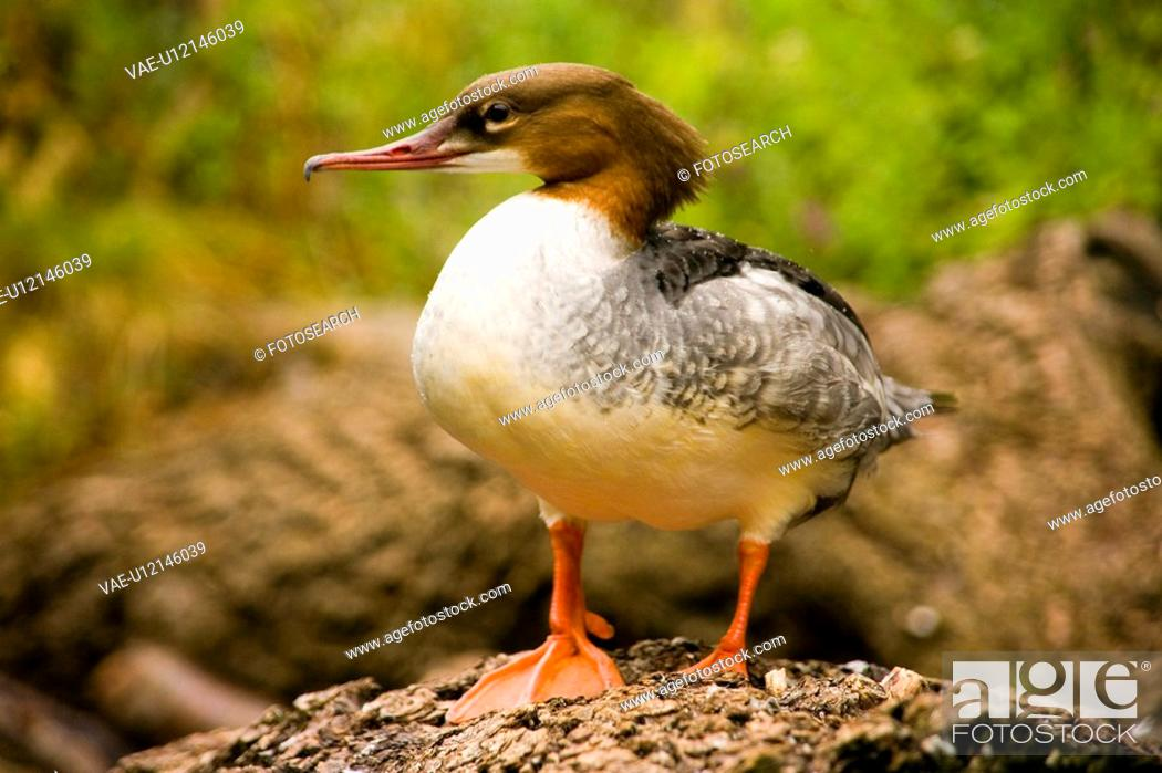 Stock Photo: fauna, animal, birds, bird, animals, alfred.
