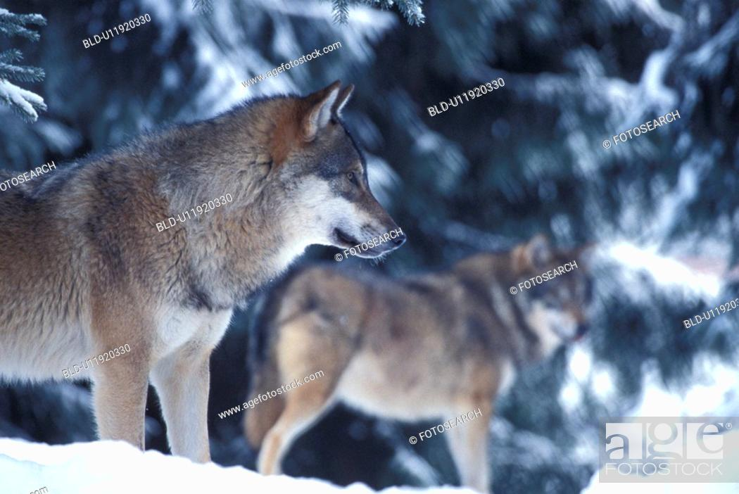 Stock Photo: body, canidae, animals.