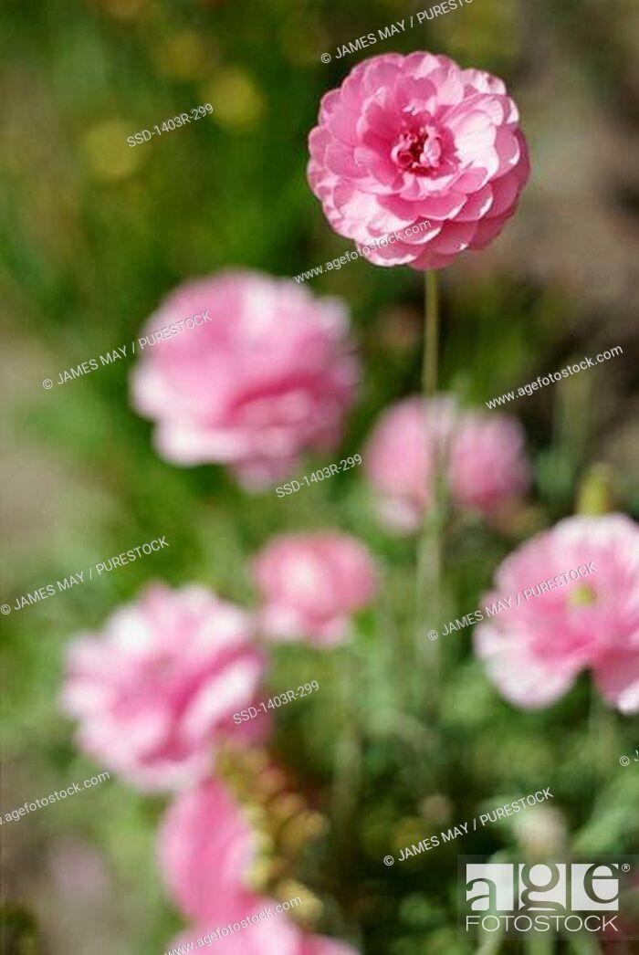 Imagen: Close-up of zinnia flowers.