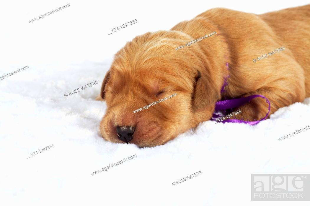 Stock Photo: A one-week-old Golden Retriever puppy indoors.