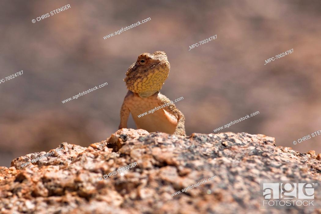 Stock Photo: Etosha Agama (Agama etoshae) on a rock, Richtersveld Transfrontier National Park, South Africa.