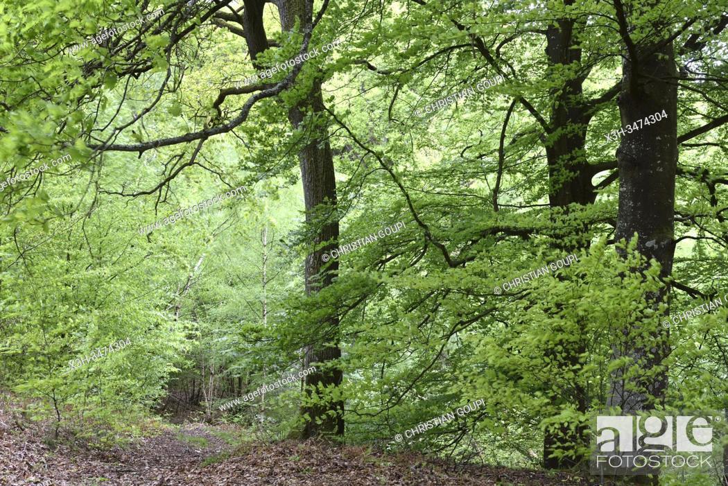 Stock Photo: hetres, foret de Rambouillet, departement des Yvelines, region Ile de France, France, Europe/ beech trees, forest of Rambouillet, Yvelines department.