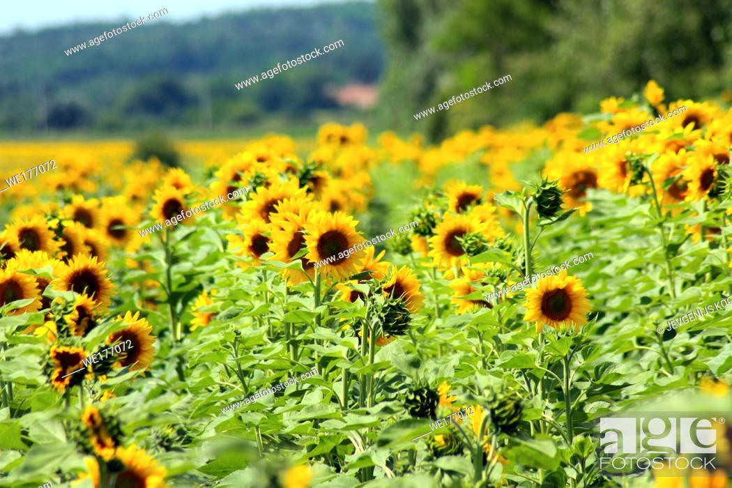 Stock Photo: Field of sunflowers. Composition of nature. Agricultural field.