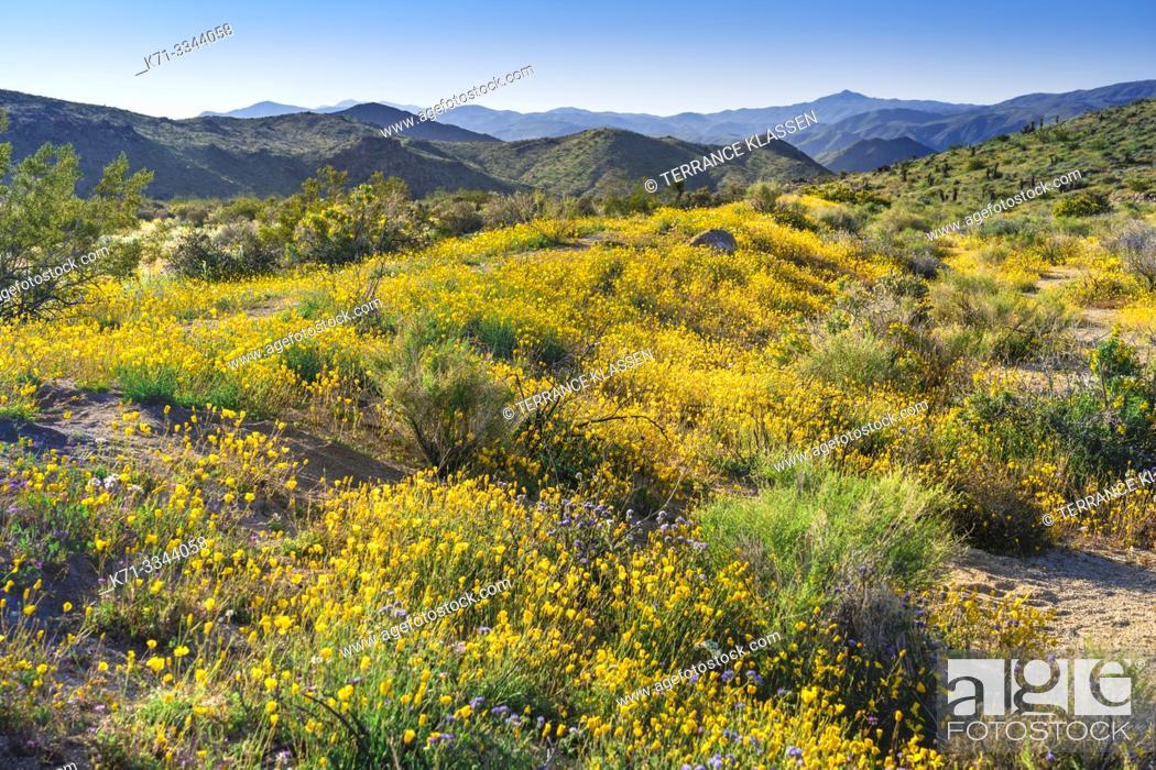 Stock Photo: Spring wildflowers blooming in Joshua Tree National Park, California, USA.