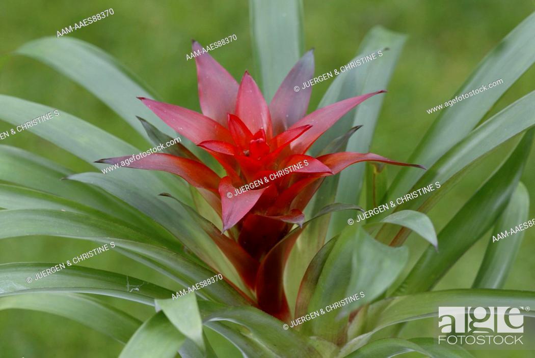 Stock Photo: Bromeliad Blossom.