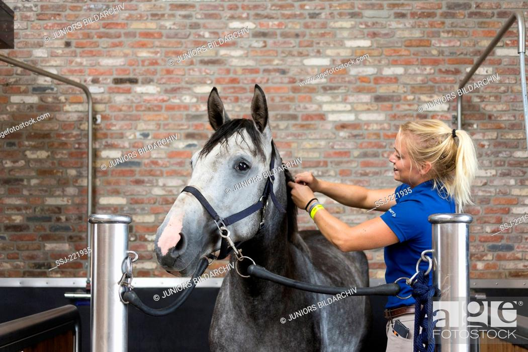 Stock Photo: Dutch Warmblood. Groom plaiting the mane of a horse. Netherlands.