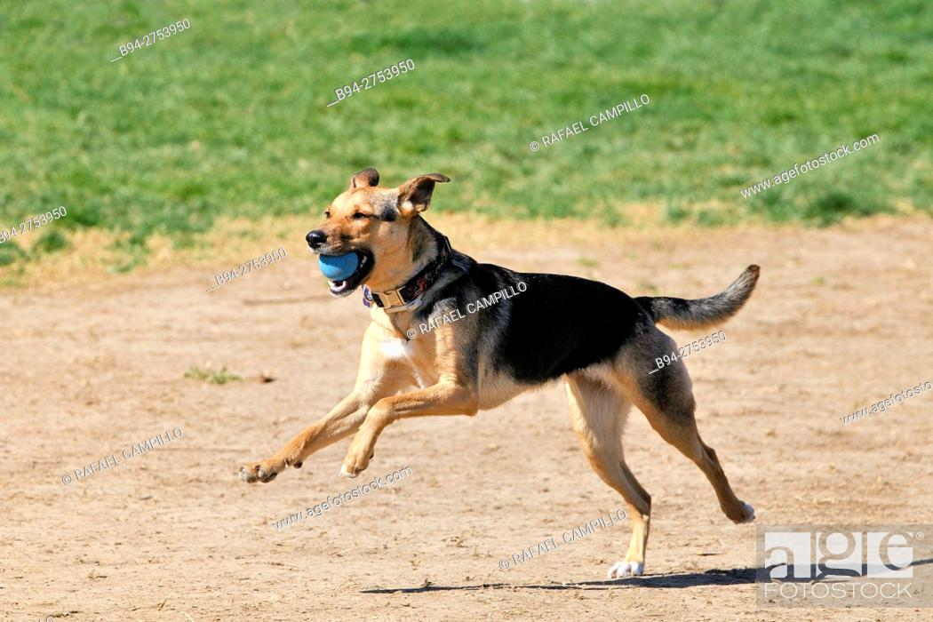 Stock Photo: German Shepherd dog with blue ball.
