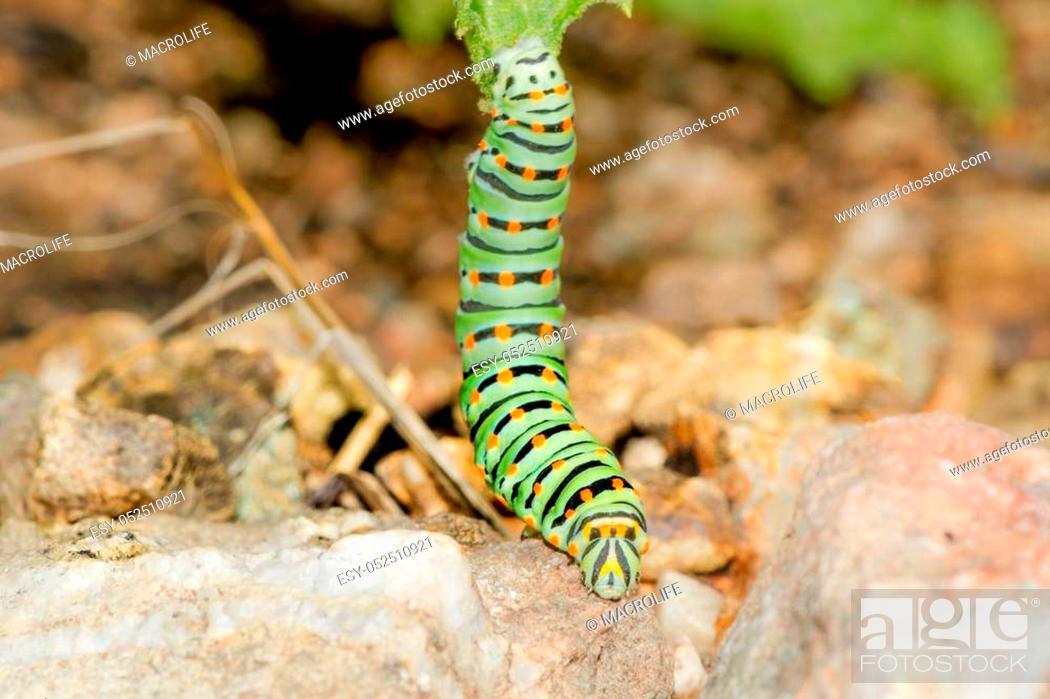 Stock Photo: A closeup of a beautiful Machaon caterpillar.