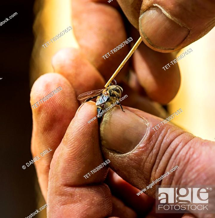 Stock Photo: Beekeeper taking off mite (Varroa mites) from honey bee.