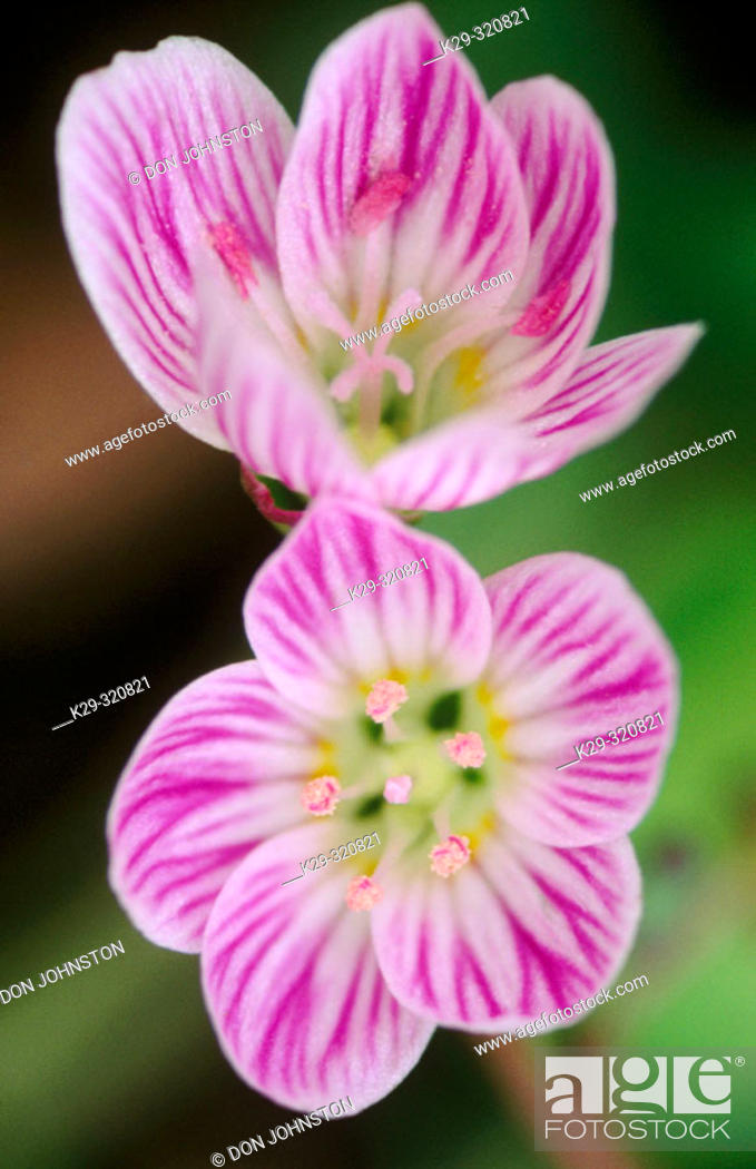 Stock Photo: Spring Beatuty (Claytonia virginica): deciduous woodland spring flower with insect guidelines in petals. Manitoulin Islands, Ontario, Canada.