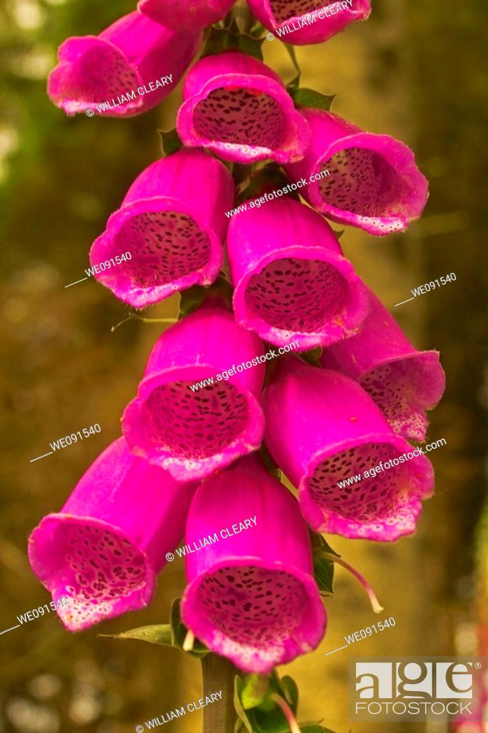 Stock Photo: Common Foxglove Bells (Digitalis purpurea).