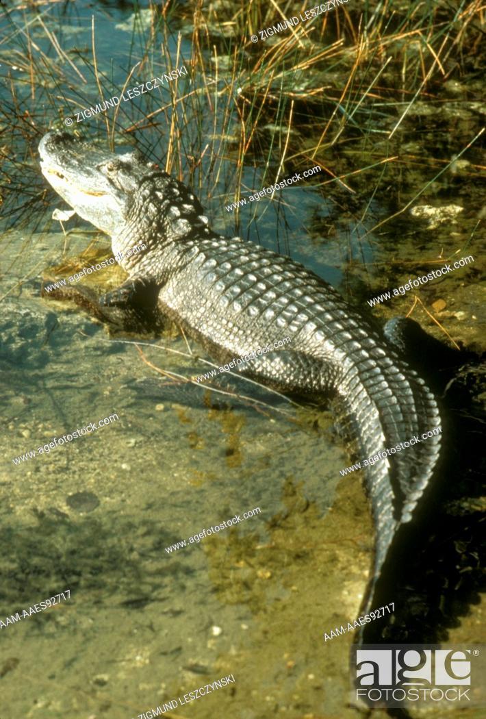 Stock Photo: American Alligator (Alligator mississippiensis) Southeast USA.