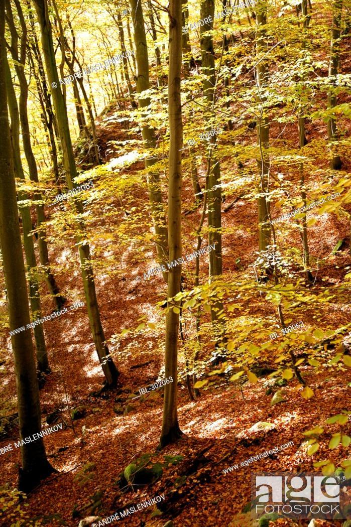 Stock Photo: Beech wood in autumn.