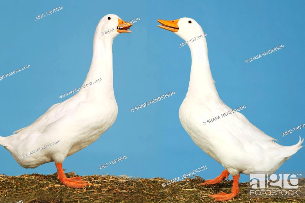 Stock Photo: Two geese facing each other against blue background side view.