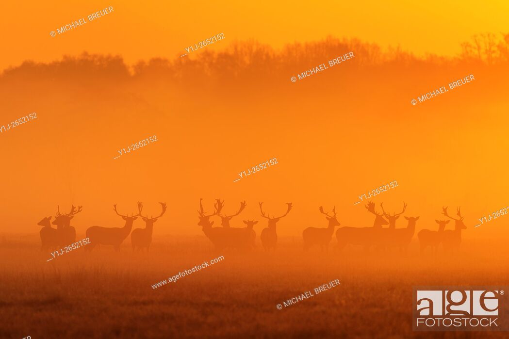 Stock Photo: Herd of Fallow Deers (Cervus dama) on misty morning at sunrise, Spring, Hesse, Germany, Europe.