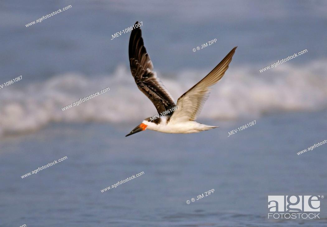 Stock Photo: Black Skimmer (Runchops niger). Cape May, NJ, USA.