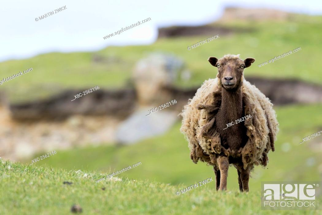 Imagen: Foula Sheep on the Island of Foula, Shetland Islands. Foula Sheep are an extremely hardy, colorful and traditional breed of sheep, which survived only on Foula.