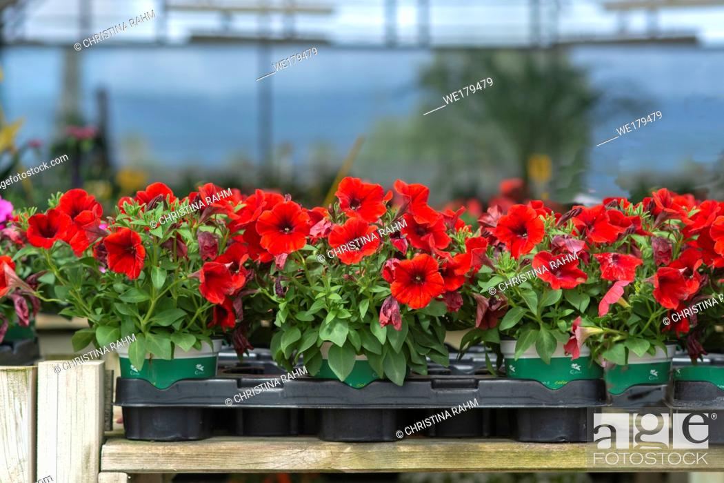 Stock Photo: Red petunia flowers in pots inside greenhouse. Spring garden series, Mallorca, Spain.