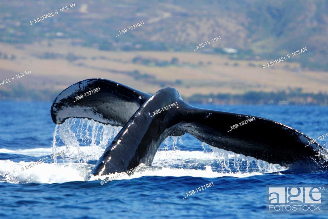 Stock Photo: Humpback Whale Megaptera novaeangliae in the AuAu Channel, Maui, Hawaii, USA  Pacific Ocean.