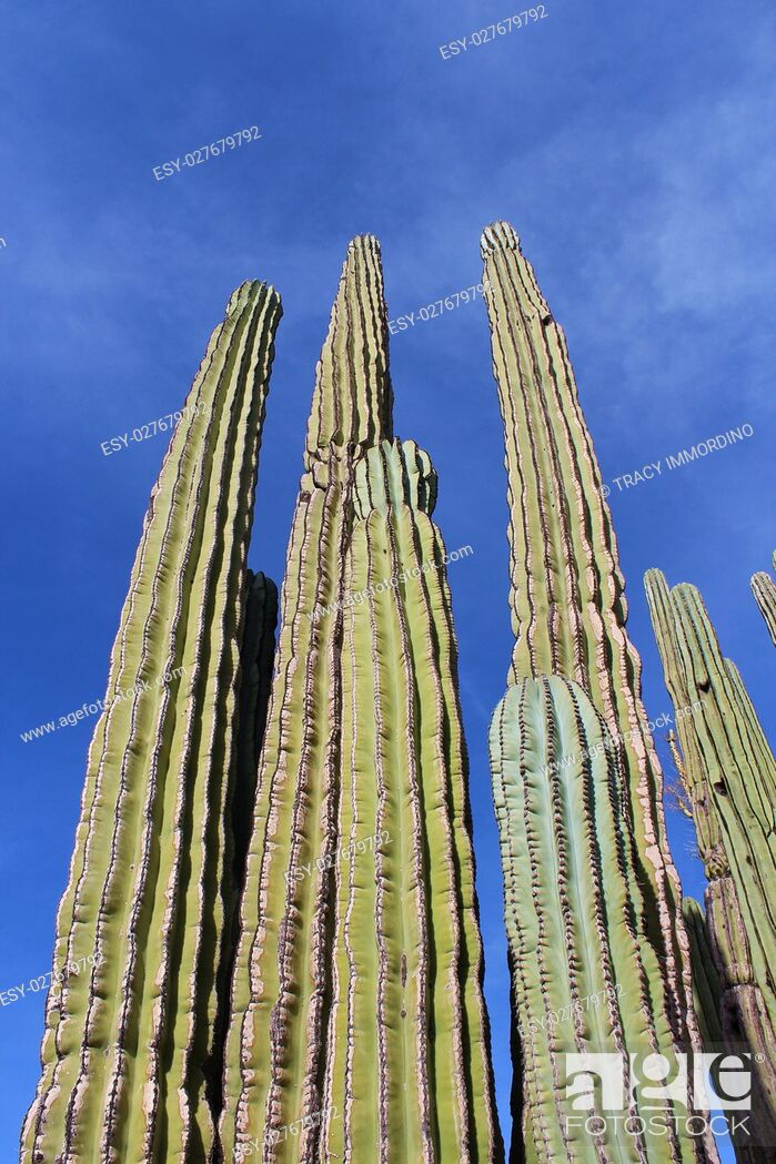 Stock Photo: Close up of the upper branches of a Cardon Cactus, with a blue sky as the background, in Arizona, USA.