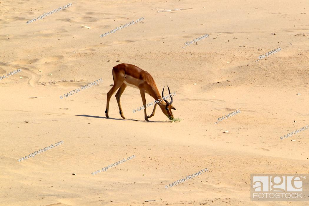 Stock Photo: Impalas (Antidorcas melampus melampus), Kruger National Park, South Africa.