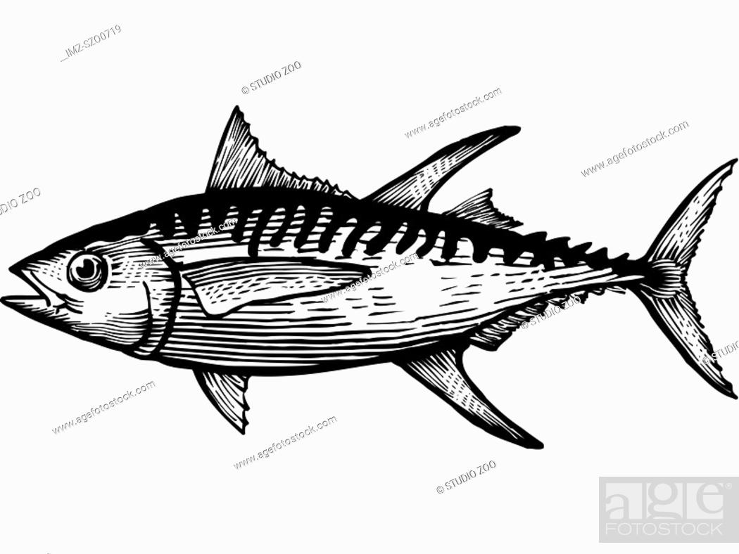 Stock Photo: A black and white drawing of a yellow fin tuna.