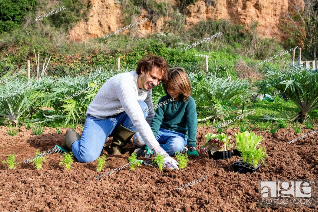 Stock Photo: Father and son planting lettuce seedlings in vegetable garden.