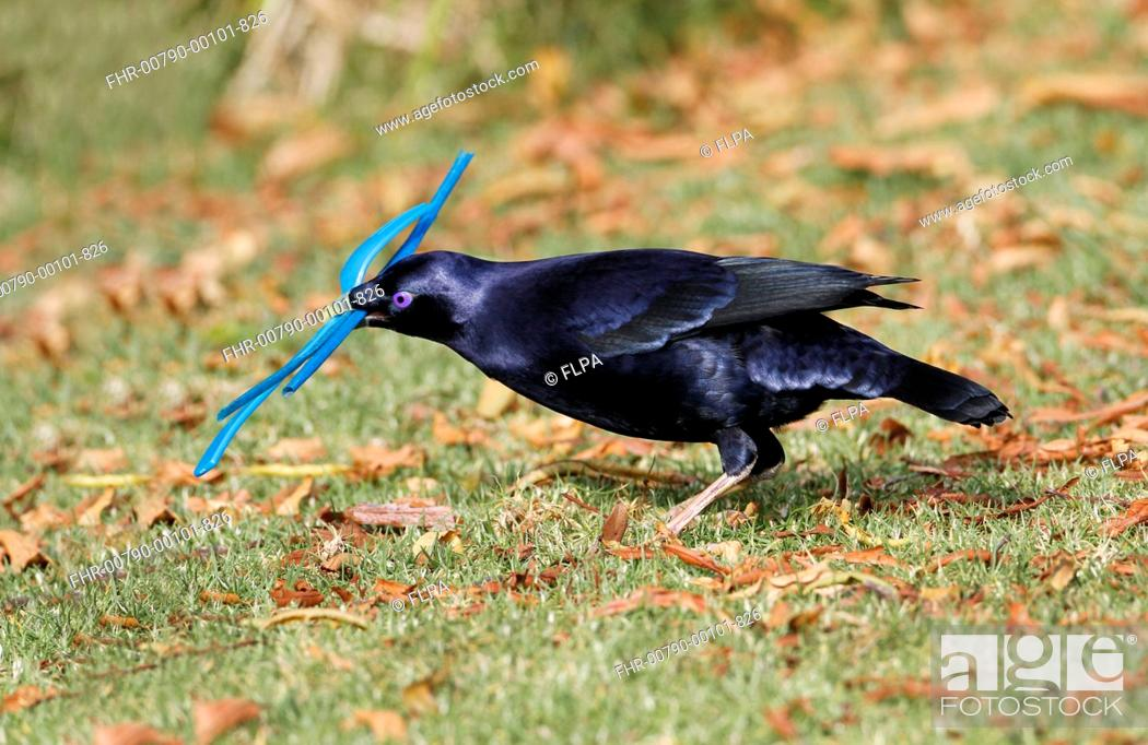 Stock Photo: Satin Bowerbird (Ptilonorhynchus violaceus) adult male, collecting blue plastic objects to decorate bower, Green Mountain, Lamington N.P.