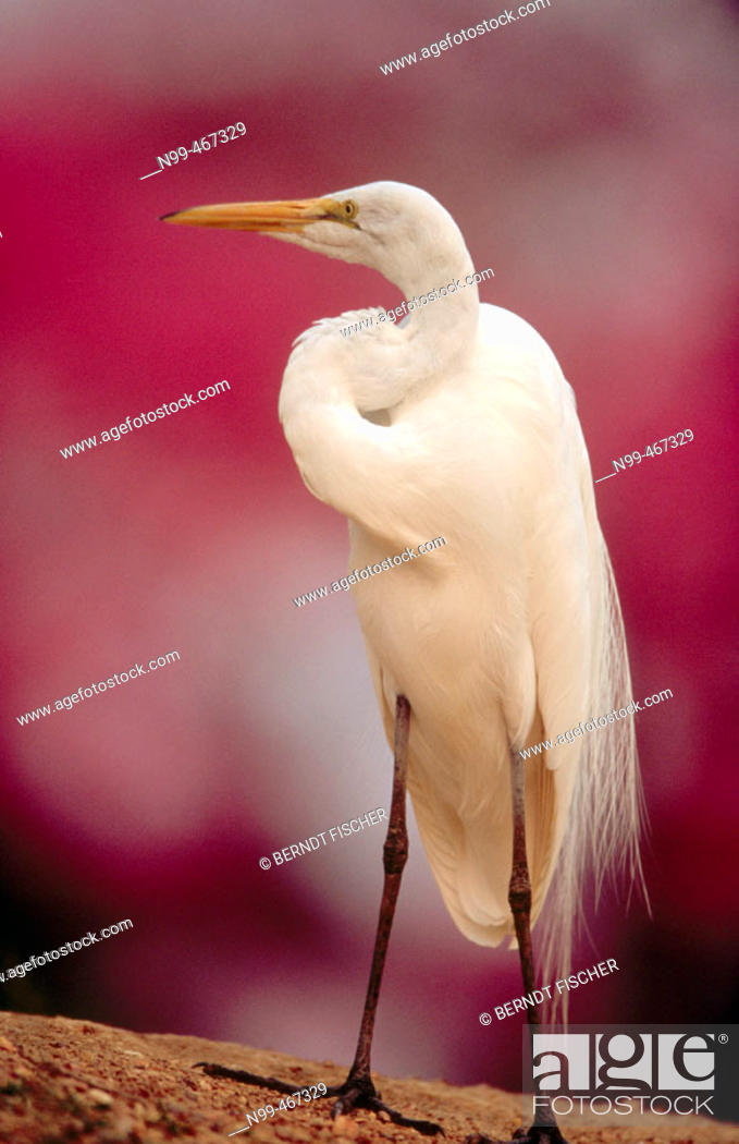 Stock Photo: Great white egret (Egretta alba) standing on a river bank. Rose trumpet tree in the background. Pantanal near Pocone. Pantanal. Mato Grosso. Brazil.