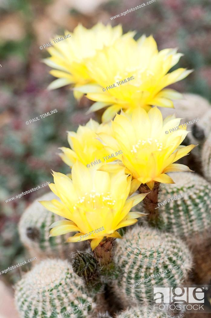 Cactus golden easter lily cactus echinopsis aurea var stock photo stock photo cactus golden easter lily cactus echinopsis aurea var leucomalla yellow flowers on top of spiky plant mightylinksfo Gallery