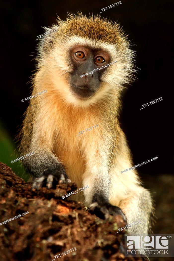 Stock Photo: Young vervet monkey playing on a tree branch.
